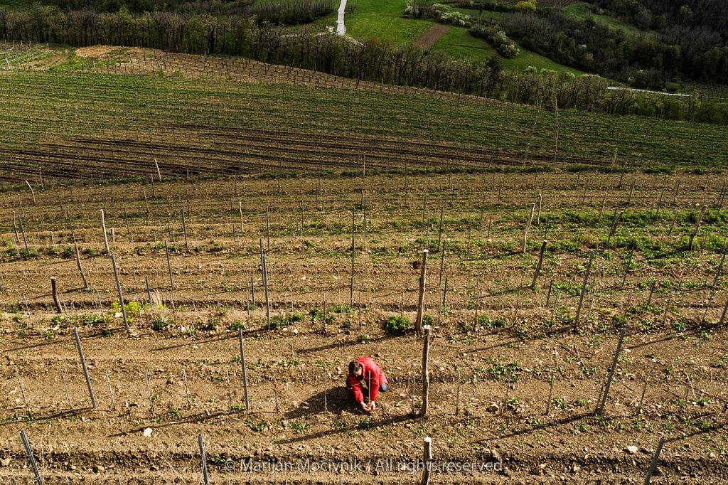 Guerila Vineyard, Planina, Vipava Valley, Slovenia