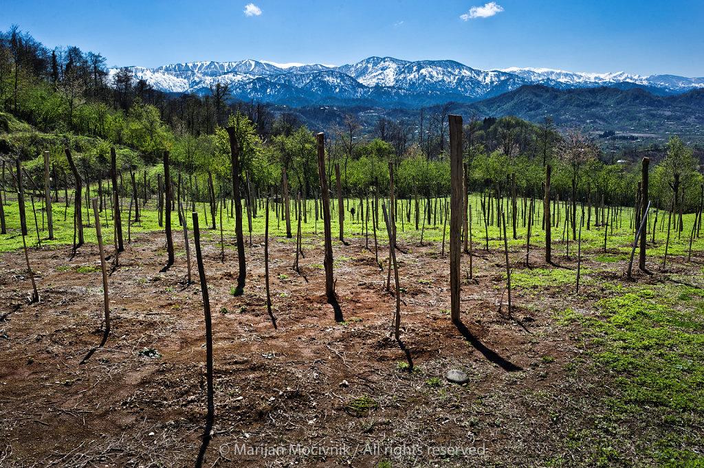Vineyard, Zurab Topuridze winery, Georgia