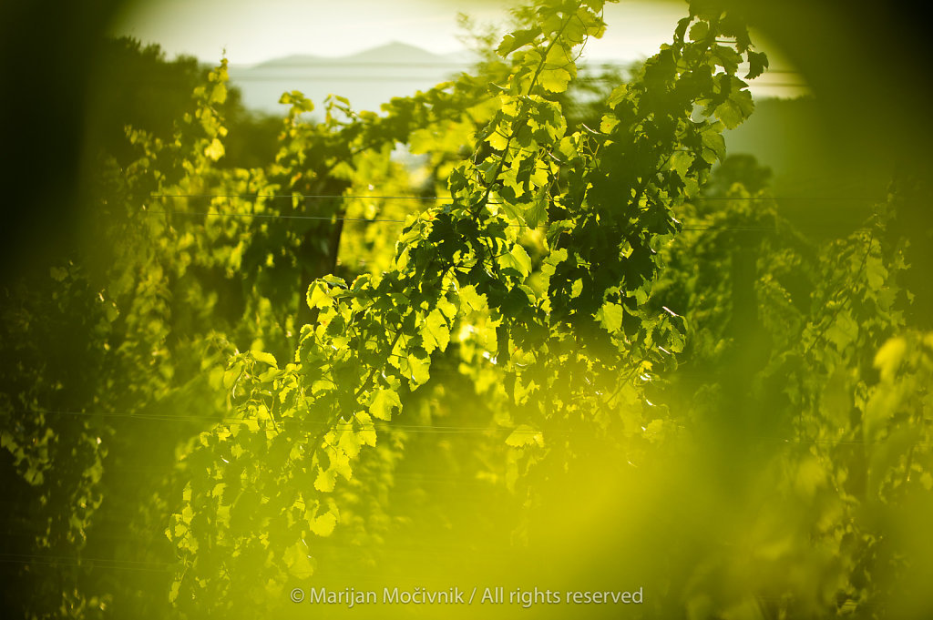 Young vines, Vipava Valley, Slovenia
