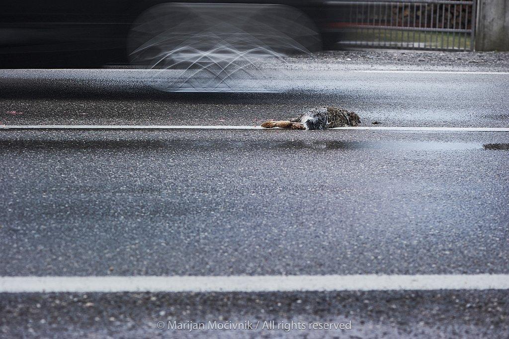 Povozen-mrtev-zajec-na-cesti-8994-2048.jpg