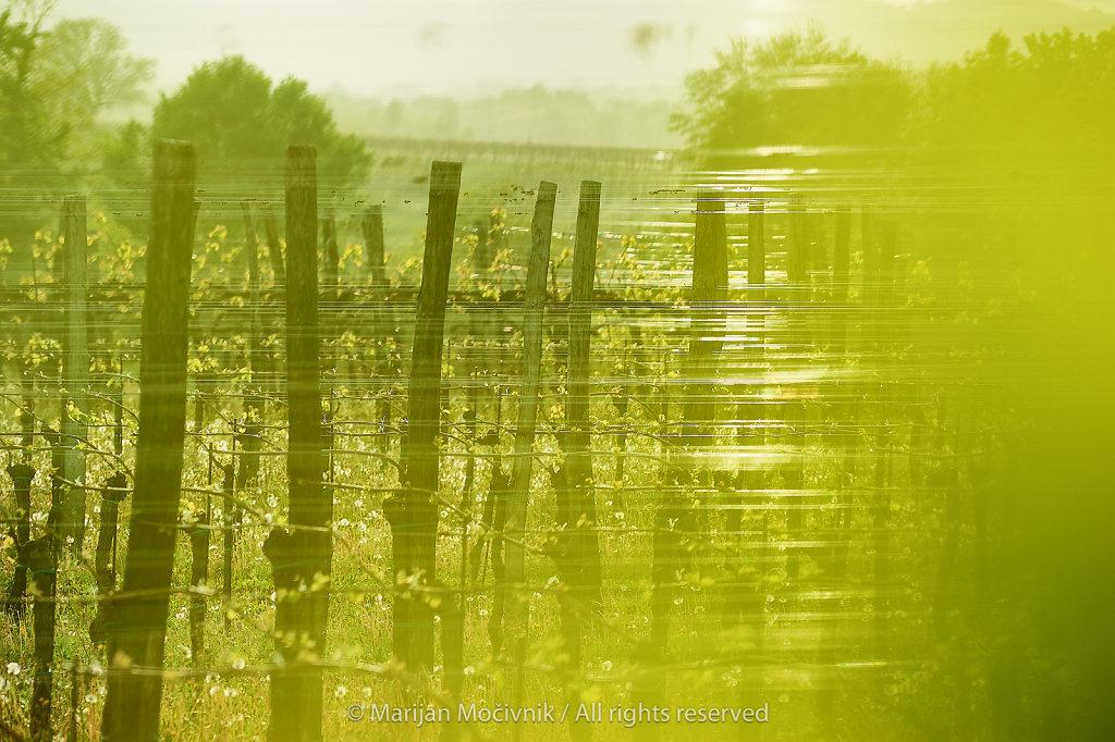 Vinograd-Dobravlje-pomlad-9046-2048.jpg
