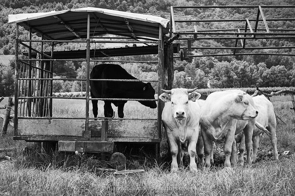 Ustje-govedo-5724-2048.jpg