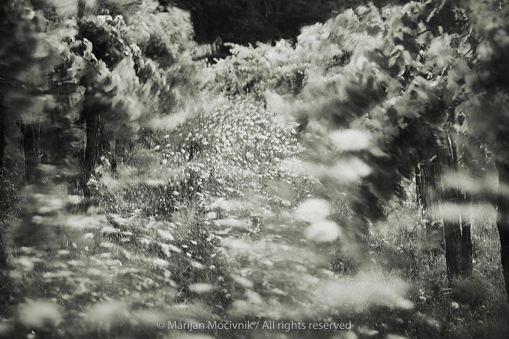 Dobravlje-vinograd-veter-0724-1-2048.jpg