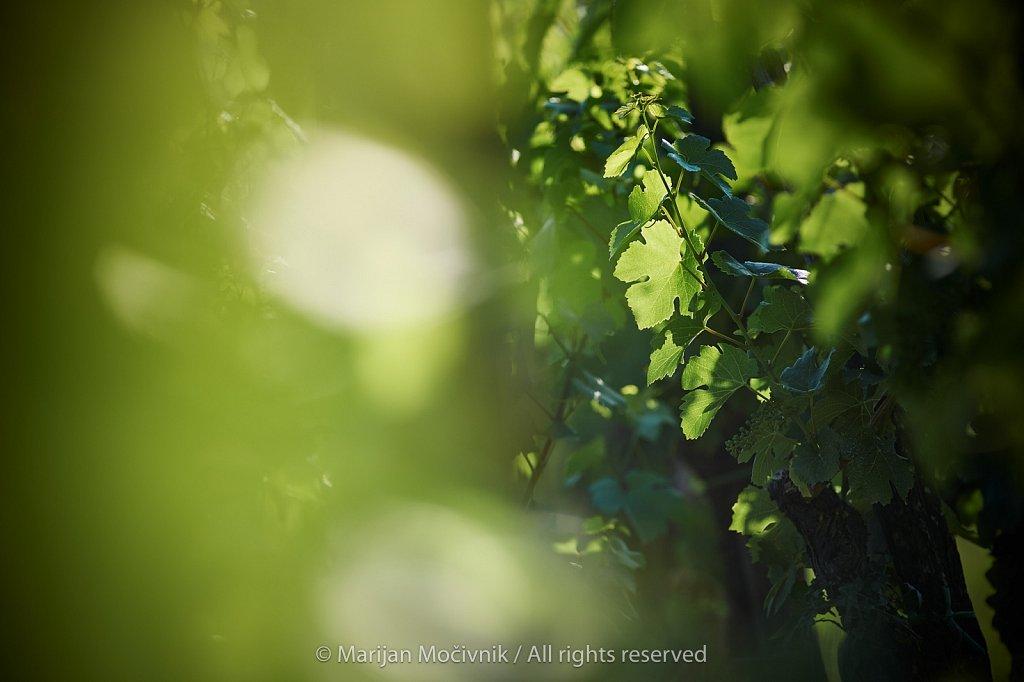 Vinograd-trte-nad-vasjo-Zalosce-5331-2048.jpg