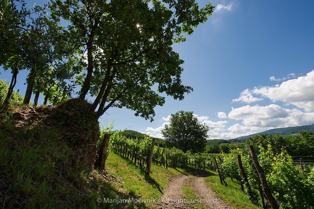 Pot-vinograd-drevo-pri-vasi-Zalosce-8295-2048.jpg