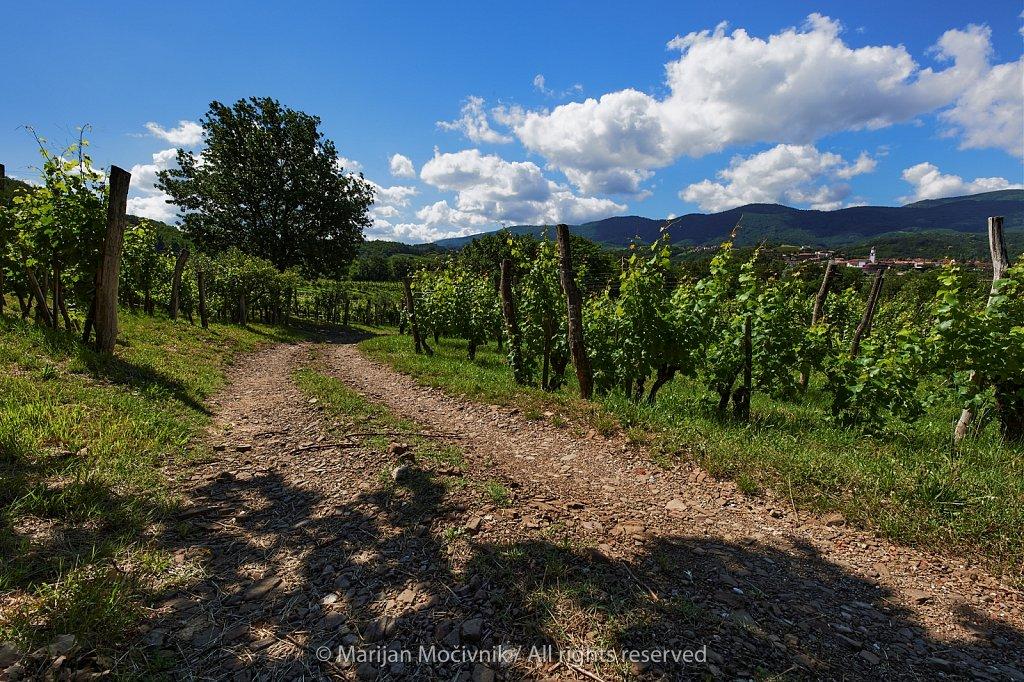 Pot-vinograd-drevo-pri-vasi-Zalosce-8301-2048.jpg