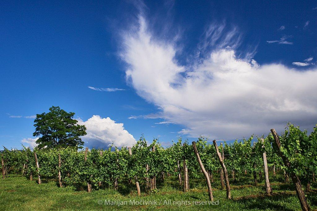 Trte-drevo-oblaki-Dobravlje-6803.jpg