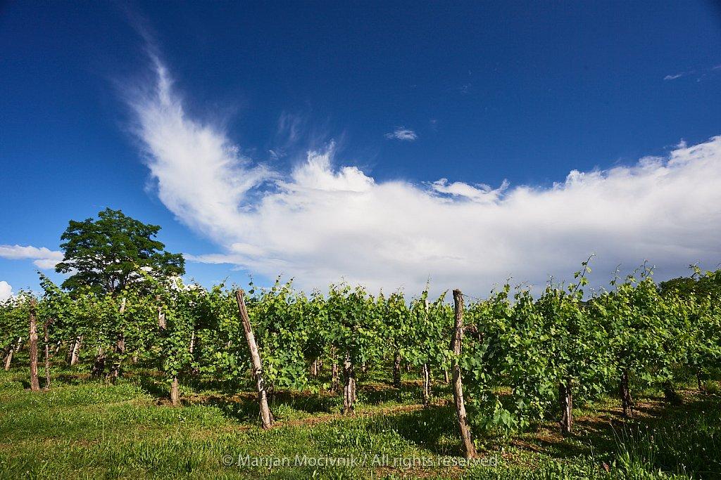 Trte-drevo-oblaki-Dobravlje-6842.jpg