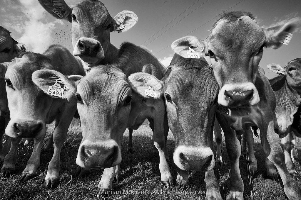 Ustje-govedo-203993-1-2048.jpg