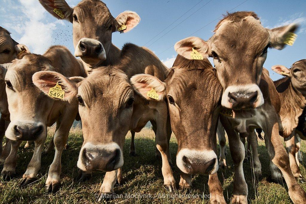 Ustje-govedo-203993-2048.jpg