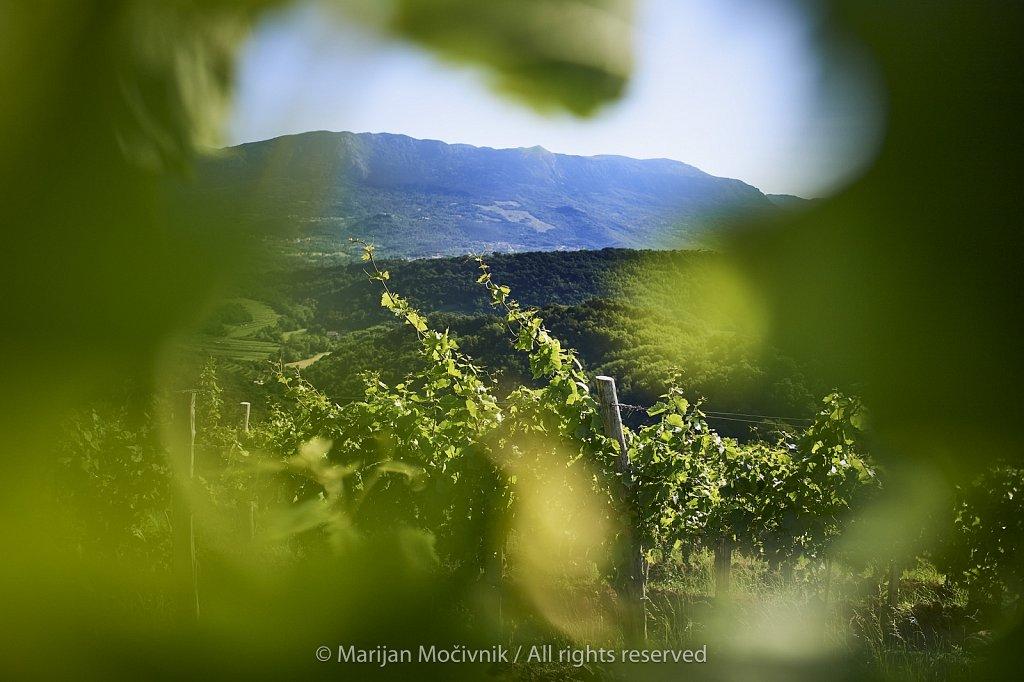 Kamnovec-trte-zadaj-Caven-1420-1-2048.jpg